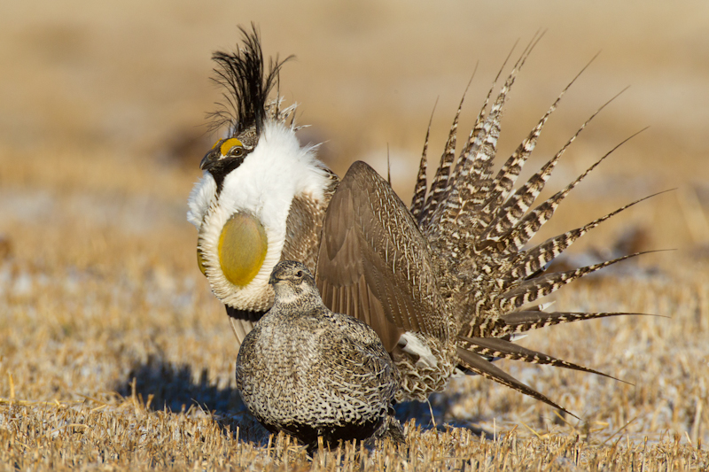 One of the most endangered species, Gunnison Sage-grouse