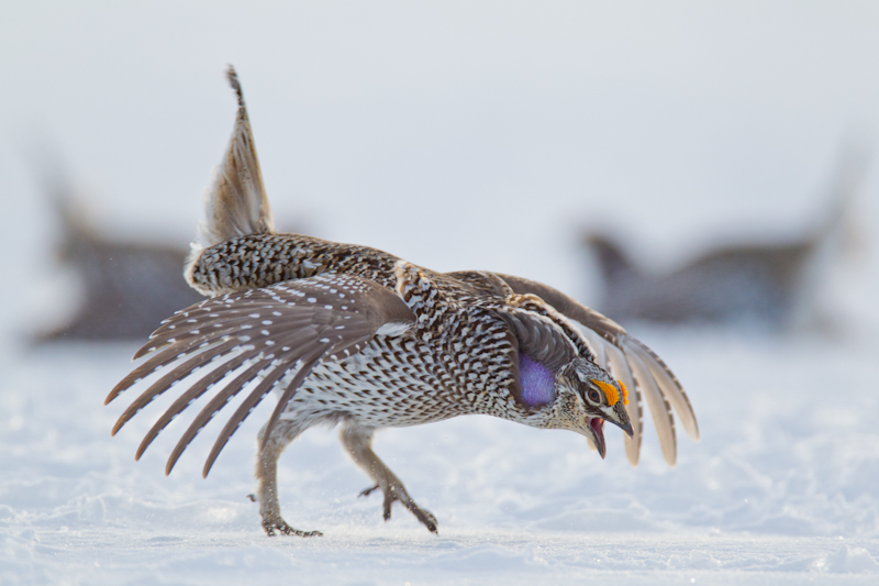 Photographing Plains Sharp-tailed Grouse