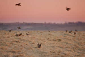 Last stand of Prairie Chickens in Missouri – Dunn Ranch