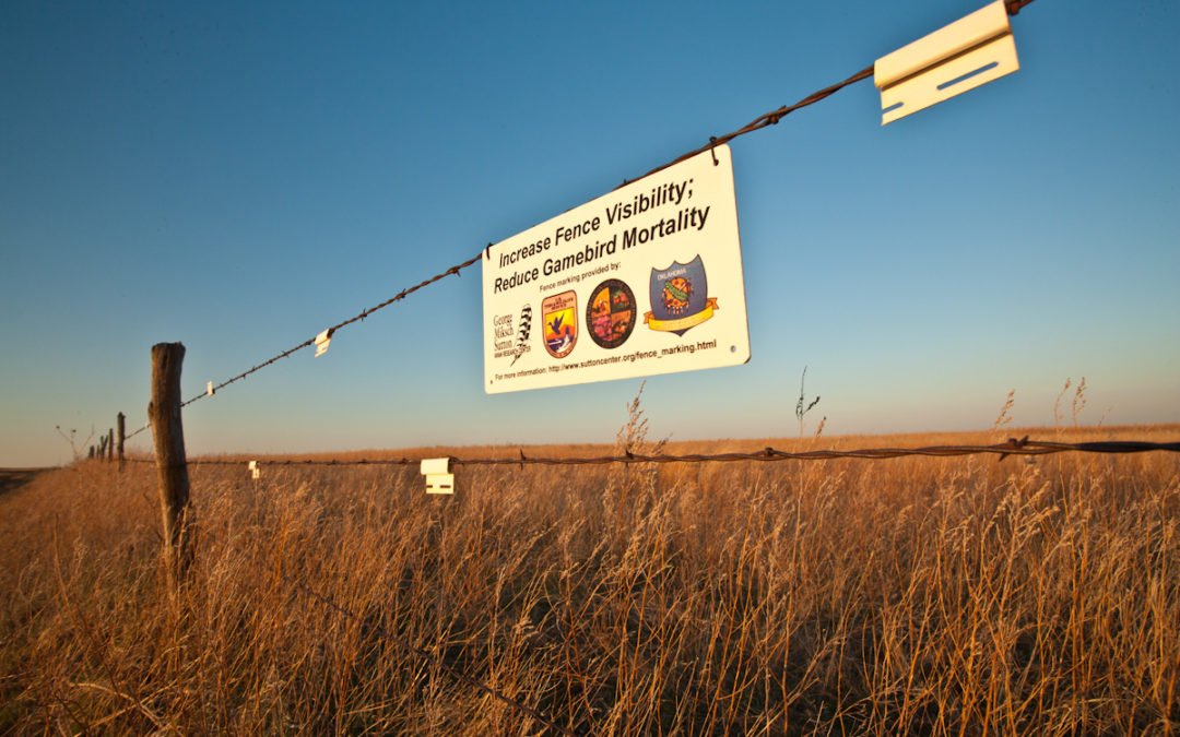 Fence collision deadly for Lesser Prairie Chickens