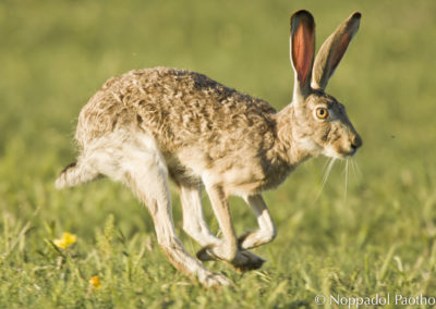 Back-tailed Jackrabbit