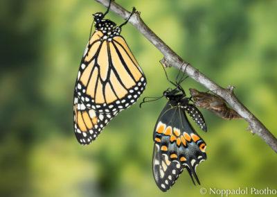 Monarch & Black Swallowtail