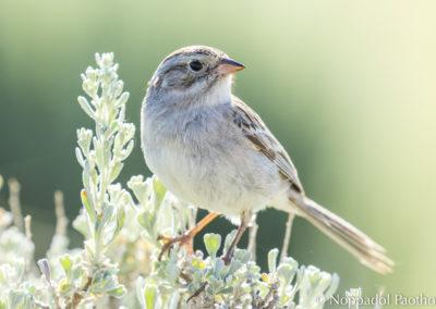 Brewer Sparrow