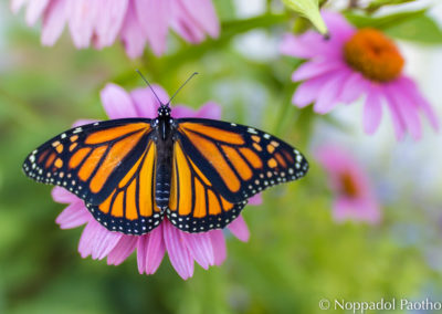 Monarch Butterfy