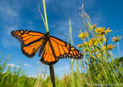 Monarch Butterfy