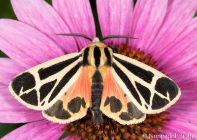 Ornate Tiger Moth