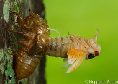 Periodical Cicada Nymph