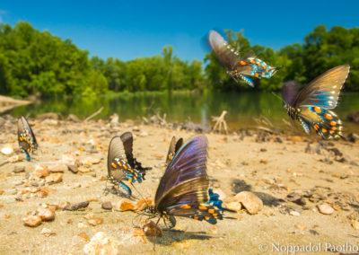 Pinevine Swallowtail