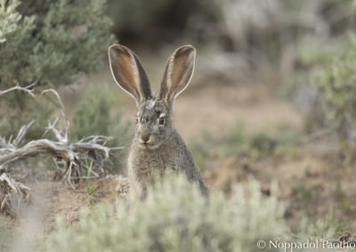 White-tailed Jack Rabbit