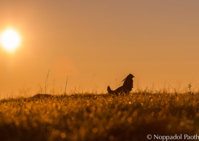 Attwater's Prairie Chicken Watching