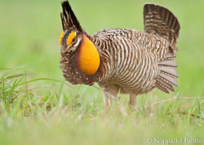 Attwater's Prairie Chicken Booming