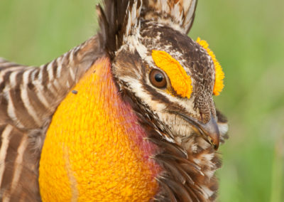 Attwater's Prairie Chicken Booming