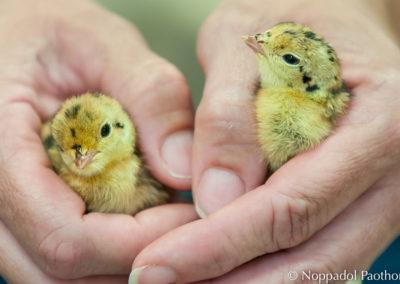 Attwater's Prairie Chicken Chick