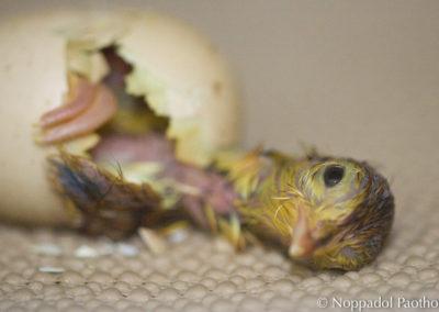 Attwater's Prairie Chicken Chick Hatching