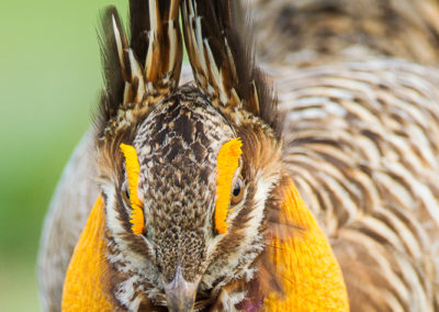 Attwater's Prairie Chicken Displaying