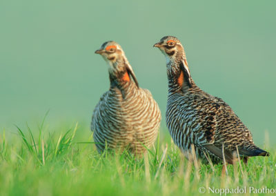 Prairie Chicken Watching