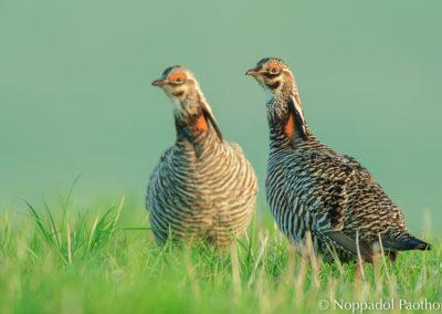 Prairie Chicken Watching