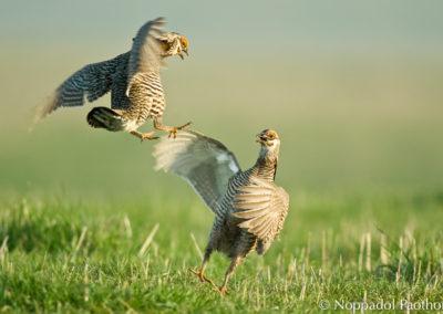 Prairie Chicken Fighting