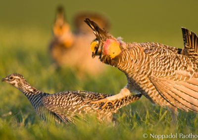 Prairie Chicken Courtship