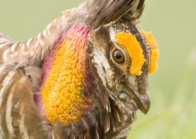 Prairie Chicken Booming