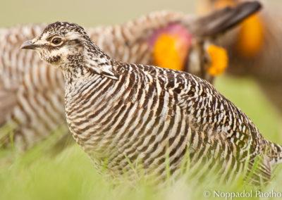 Prairie Chicken Courtship
