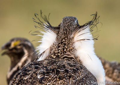 Greater Sage-Grouse Facing Off
