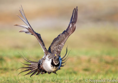 Greater Sage-Grouse Flying