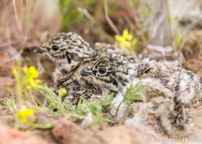 1-day-old sage-grouse chicks