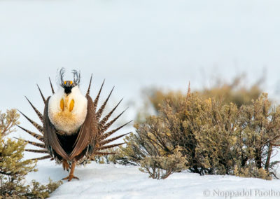 Greater Sage-Grouse Displaying in Snow Field