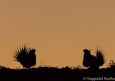 Greater Sage-Grouse Displaying in Silhouette