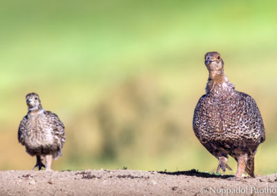 Greater Sage-Grouse Chick with Hen