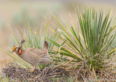 Lesser Prairie Chicken Booming