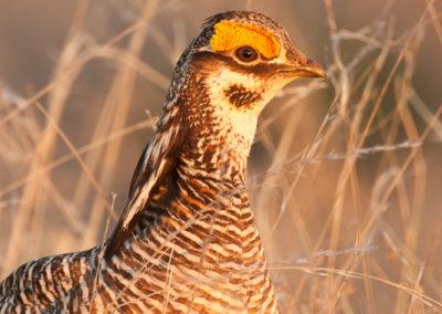 Lesser Prairie Chicken Watching
