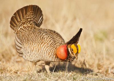 Lesser Prairie Chicken Displaying