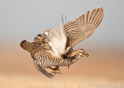 Greater Prairie Chicken Display