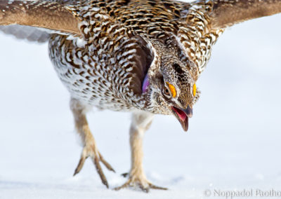 Sharp-tailedGrouse0847FINAL