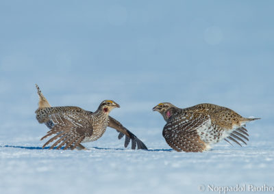 Columbian Sharp-tailed Grouse Fighting