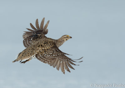 Columbian Sharp-tailed Grouse flying