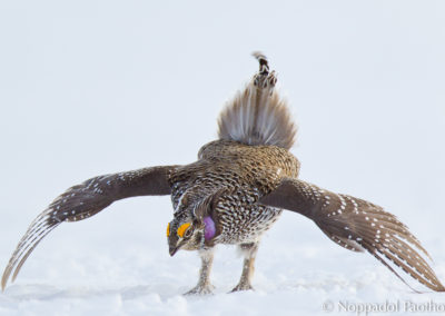 Sharp-tailed_Grouse_(Columbian)_0647