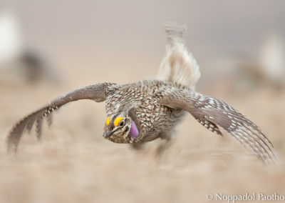 Sharp-tailed Grouse Running