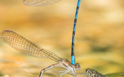 Damselflies' mating display