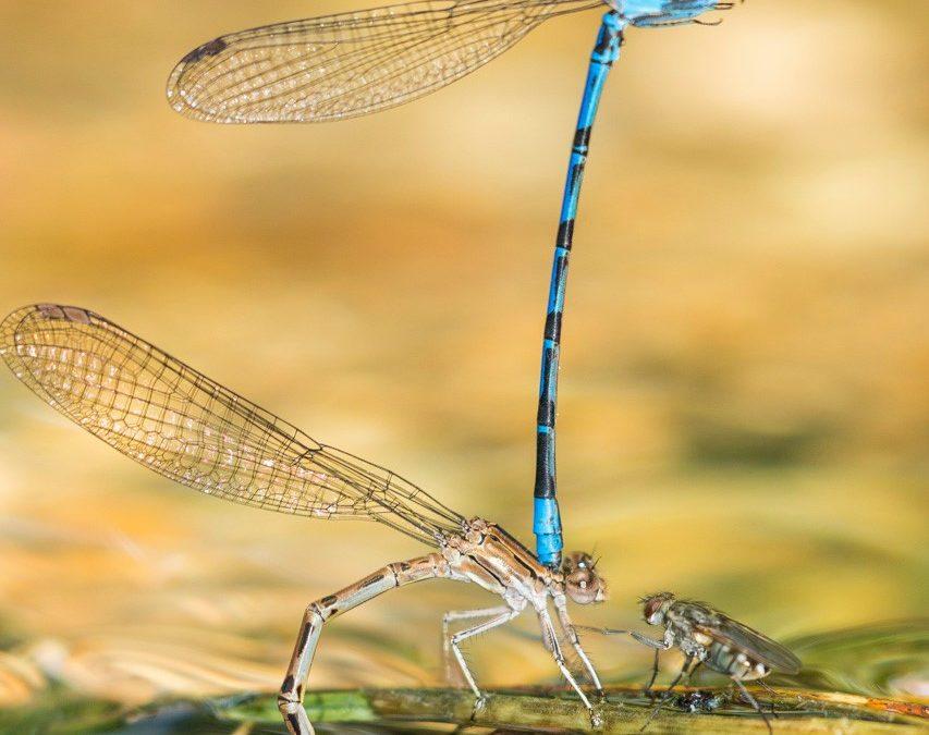 Damselflies' mating display