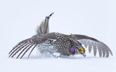 Amazing snow dancers, Columbian Sharp-tailed Grouse