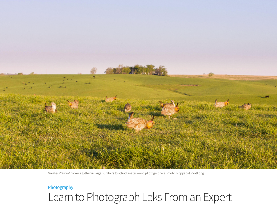 """Learn to Photograph Leks from an Expert"" – article on Audubon"